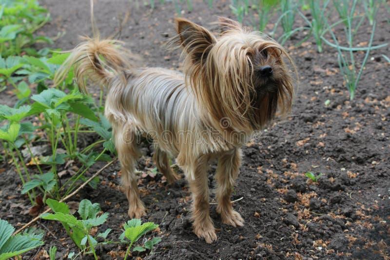 Yorkshire Terrier walks in the garden. Yorkshire Terrier dog walks in the garden royalty free stock image