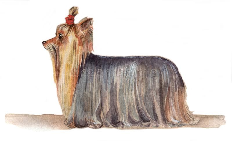 Yorkshire Terrier drawn in watercolor in profilee stock photo