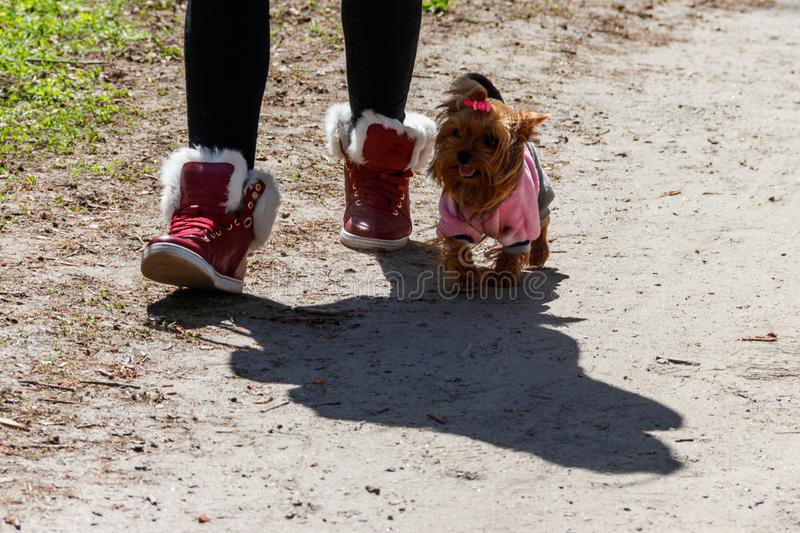 Yorkshire Terrier dressed in a dog clothes in park stock image