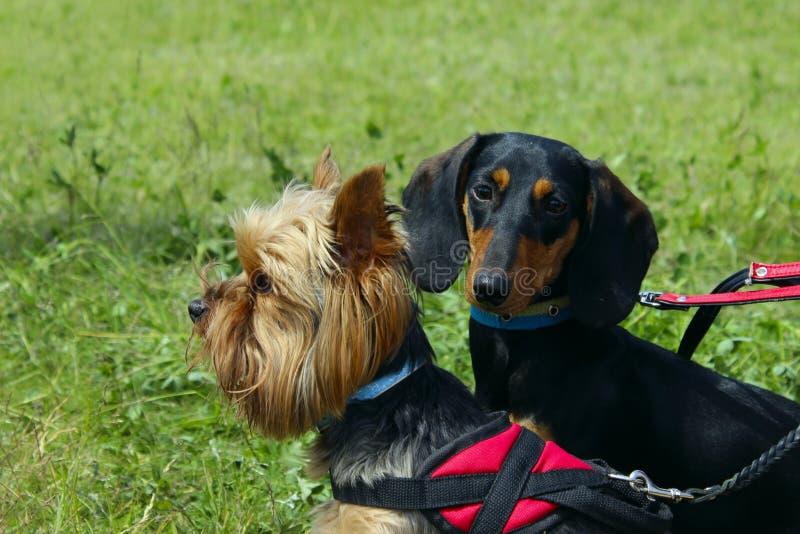 Yorkshire terrier e bassê preto sobre o fundo da grama verde cães foto de stock