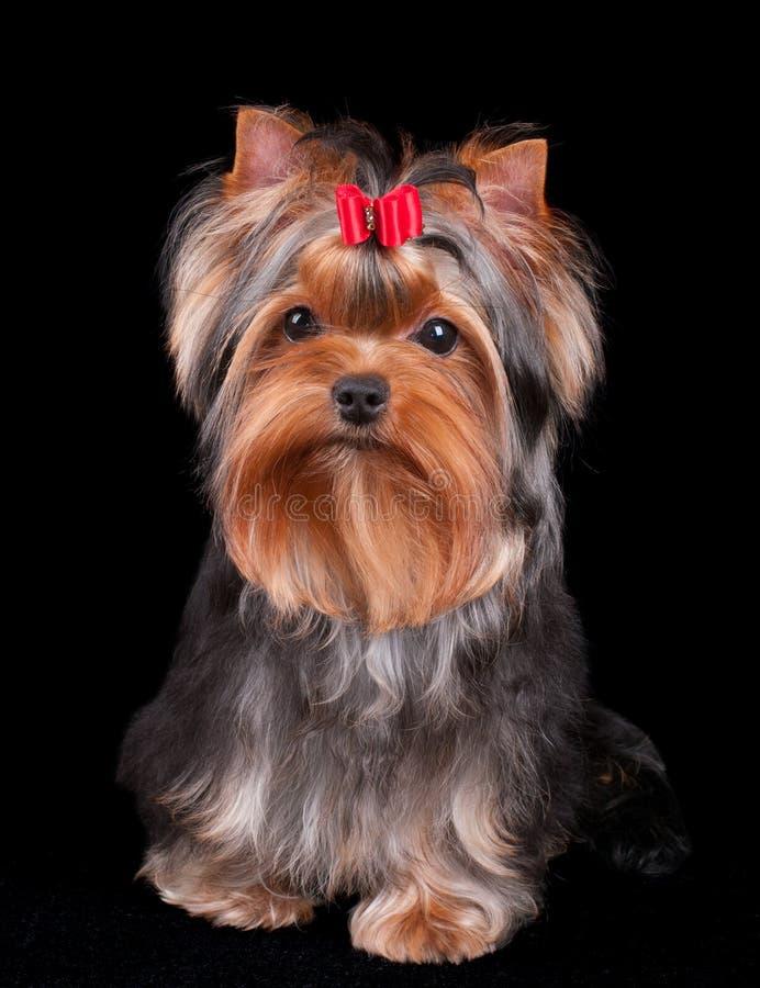 Yorkshire Terrier encantador imagen de archivo