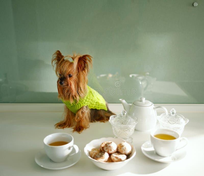 Yorkshire Terrier Entspannengetränktee der Frau stockfoto