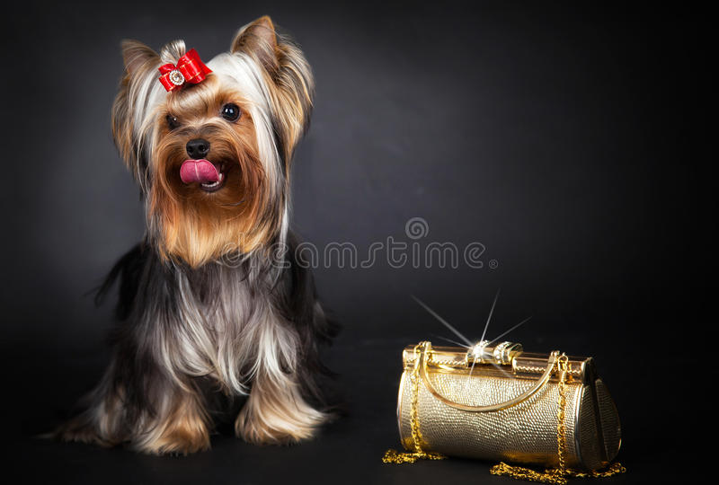 Yorkshire Terrier et sac d'or photo stock