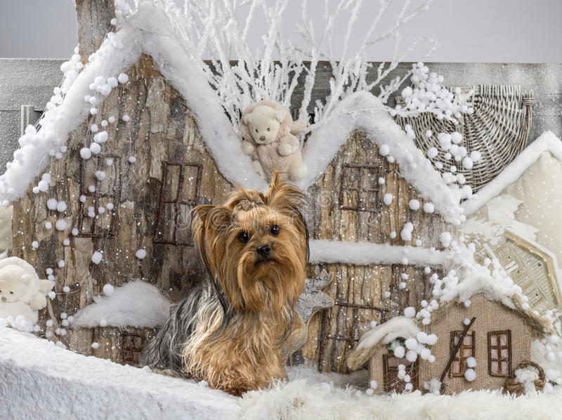 Yorkshire terrier. In front of a Christmas scenery royalty free stock photos