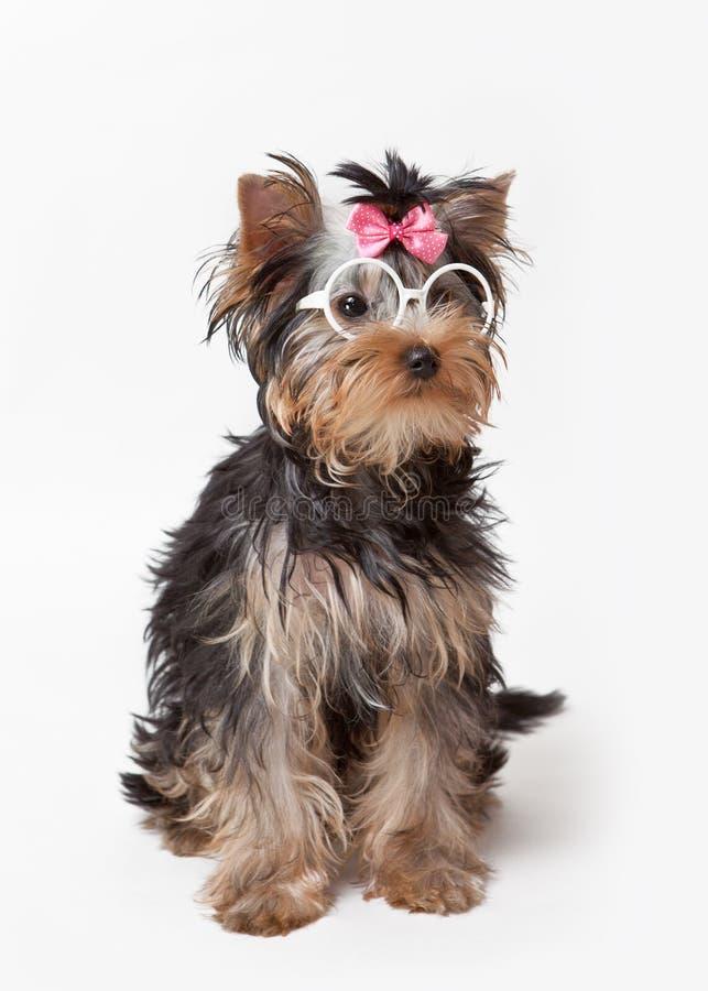 Yorkshire Terrier in glazen met roze boog zit op een witte achtergrond royalty-vrije stock fotografie