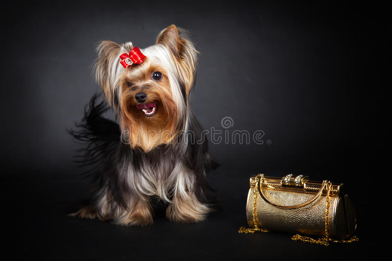 Yorkshire Terrier and gold bag stock image