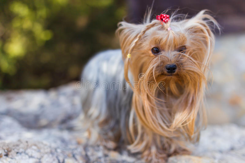 Download Yorkshire Terrier stock image. Image of brown, young - 30812113