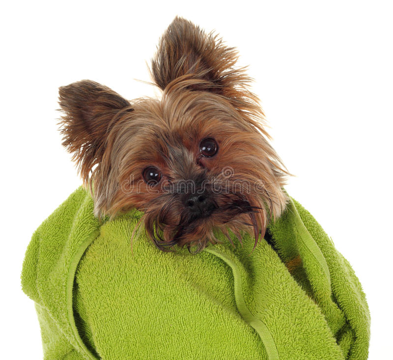 Yorkshire Terrier with towel. Yorkshire Terrier with green towel, before the bath stock photos