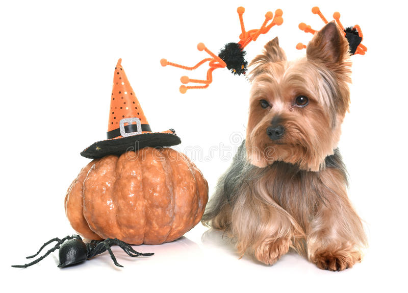 Yorkshire terrier and halloween stock images