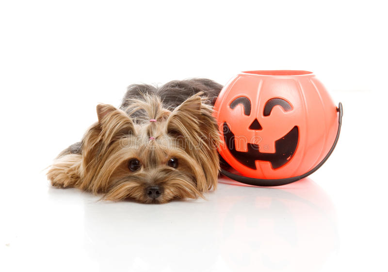 Yorkshire Terrier with halloween pumpkin, stock images