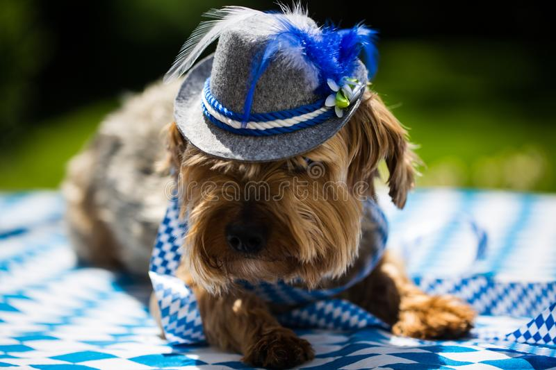 Yorkshire terrier with hat, white blue, rhombuses, oktoberfest royalty free stock image