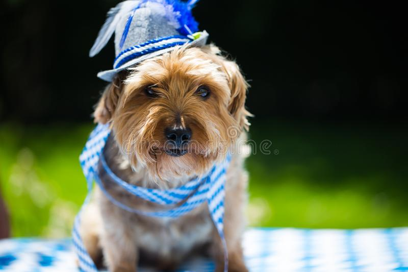 Yorkshire terrier with hat, white blue, rhombuses, oktoberfest stock photo