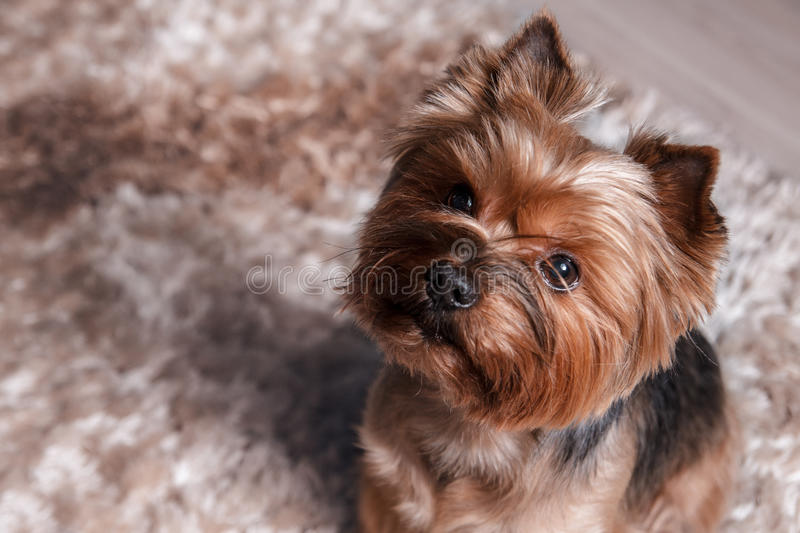 Download Yorkshire terrier at home stock image. Image of faithful - 87434129