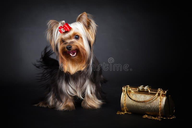 Yorkshire Terrier i złocista torba obraz stock