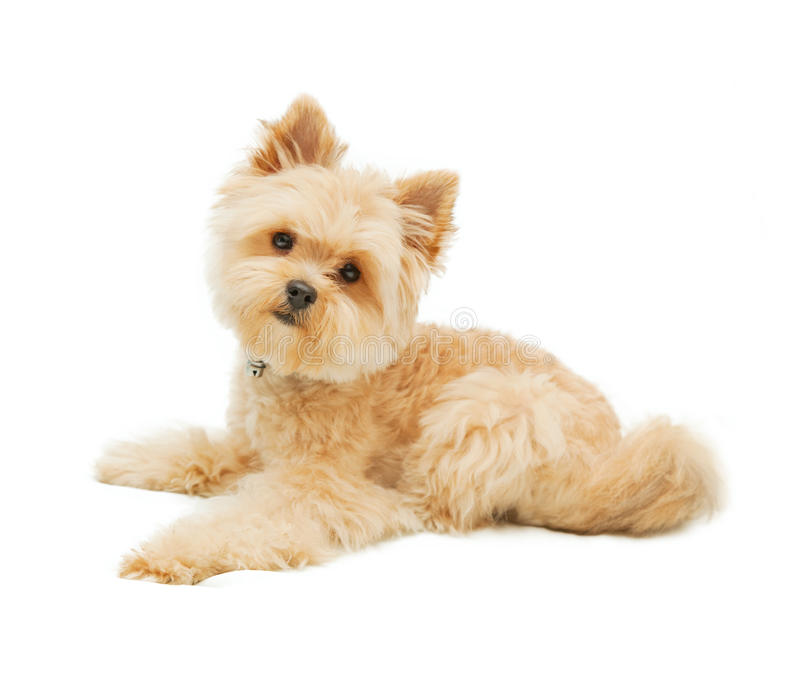 Yorkshire terrier isolated on white background stock photo