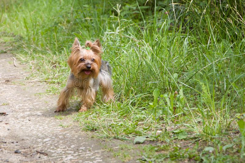 Yorkshire Terrier ist bereit zu starten und auf einer Landstraße zu laufen lizenzfreie stockbilder