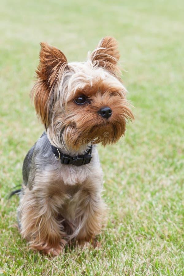 Yorkshire Terrier joven en la yarda imagenes de archivo