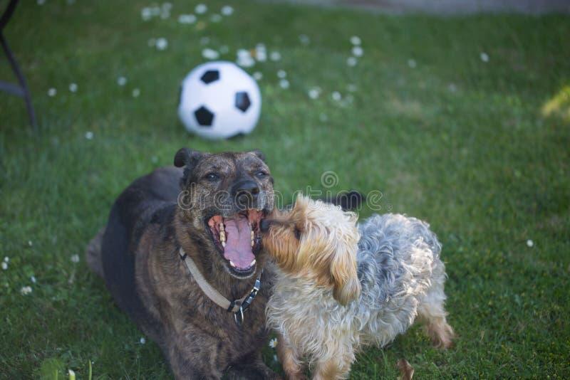 Yorkshire Terrier kijkt Herdersmengeling in de mond royalty-vrije stock afbeelding