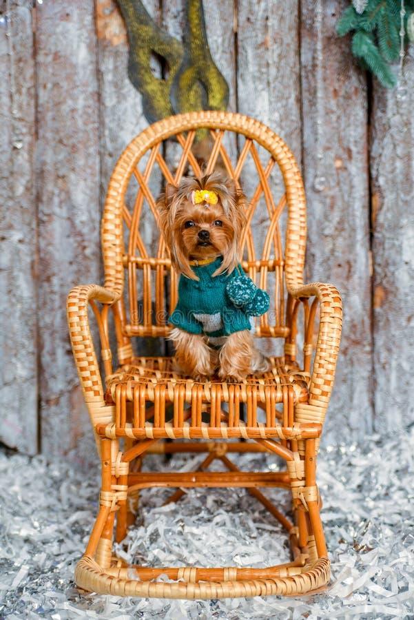 Yorkshire terrier, lite och en älskvärd vovve i festlig jul royaltyfria bilder