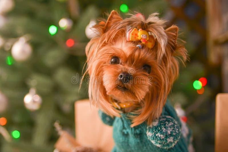 Yorkshire terrier, lite och en älskvärd vovve i festlig jul arkivfoto