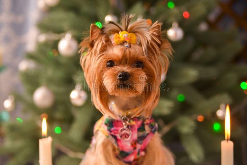 Yorkshire terrier, lite och en älskvärd vovve i festlig jul arkivbilder
