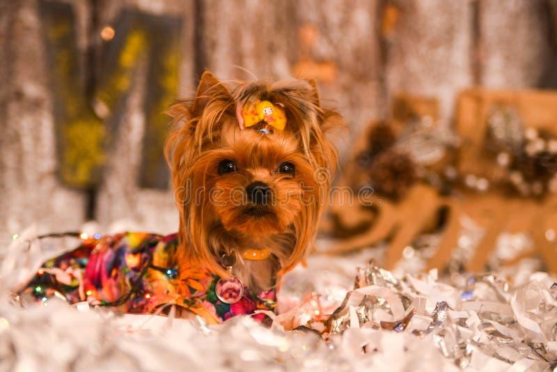 Yorkshire terrier, lite och en älskvärd vovve i festlig jul arkivfoton