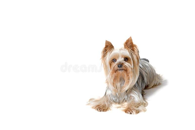 Yorkshire Terrier lokalisiert auf dem weißen Hintergrund lizenzfreies stockbild