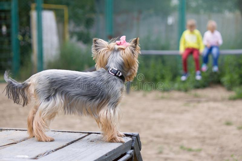 The Yorkshire Terrier looks from the wooden slide at the children who brought him to the dog site and show what and how to do it. stock photo