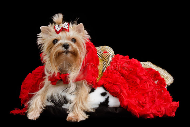 Yorkshire Terrier With Luxurious Dress Stock Image