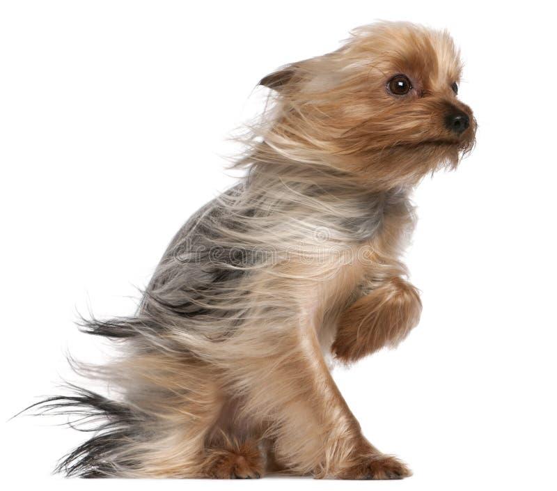 Yorkshire Terrier med hår i vinden, årig som 1 in sitter royaltyfri foto