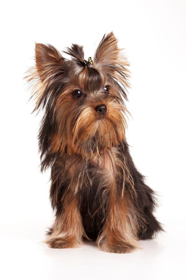 Yorkshire Terrier met een boog royalty-vrije stock foto