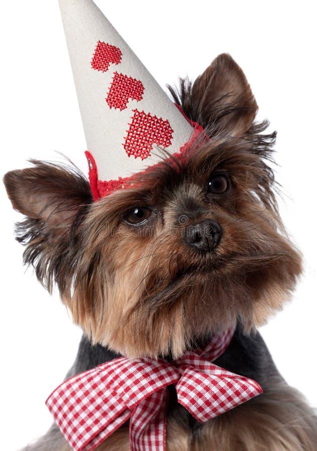 Yorkshire-Terrier mit neugierigem Ausdruck lizenzfreie stockfotografie