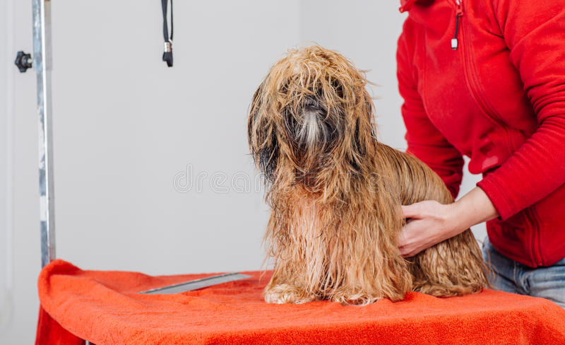 Yorkshire-Terrier mit Pflegenmeister im Salon stockfotografie