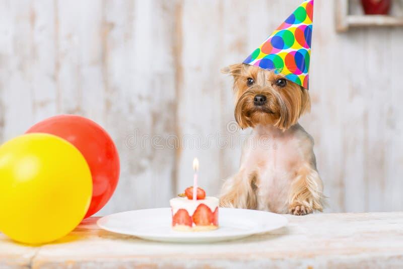 Yorkshire terrier na frente do bolo de aniversário foto de stock royalty free