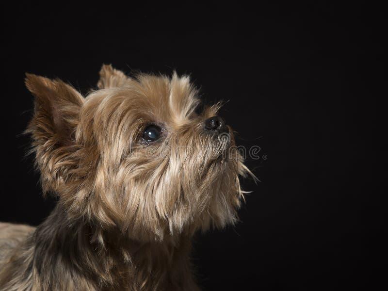 Yorkshire terrier na frente do fundo preto foto de stock royalty free