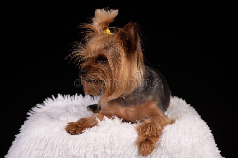 Yorkshire terrier no fundo preto fotos de stock royalty free