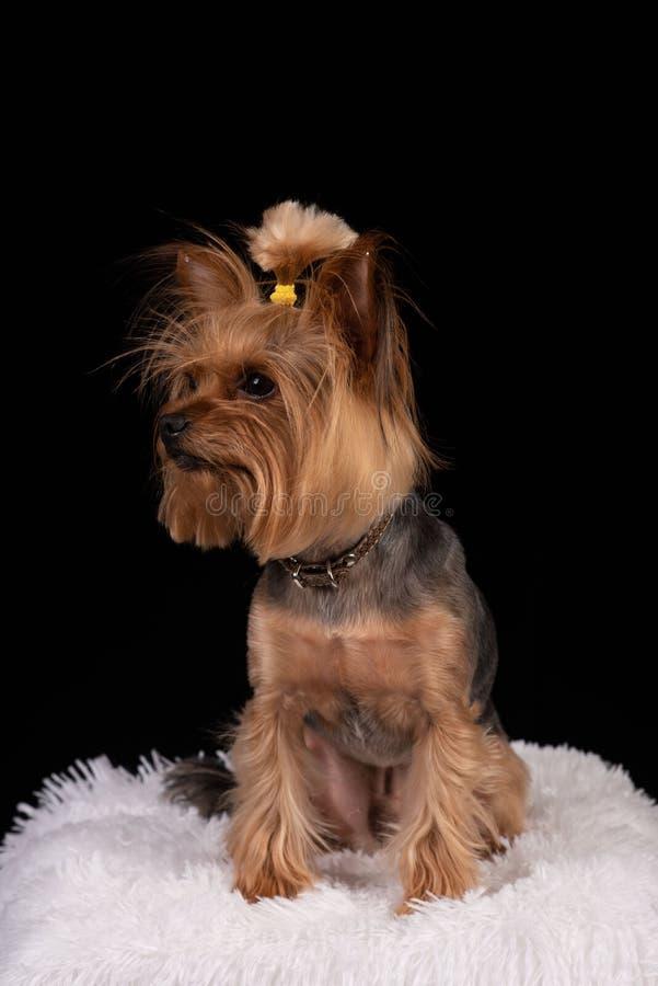 Yorkshire terrier no fundo preto foto de stock royalty free