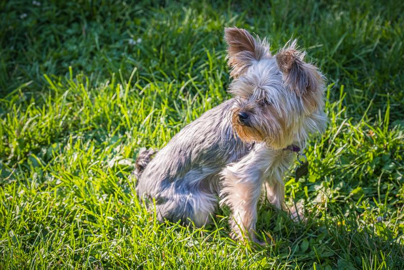 Yorkshire terrier no gramado no sol imagem de stock royalty free