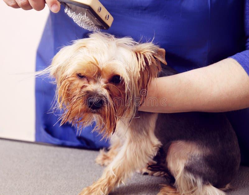 Yorkshire terrier obtenant sa coupe de cheveux photo stock - Modele de coupe pour yorkshire terrier ...