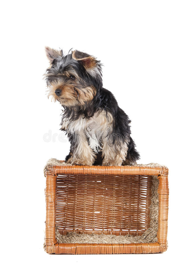 Free Yorkshire Terrier On The Baske Stock Photography - 34875012