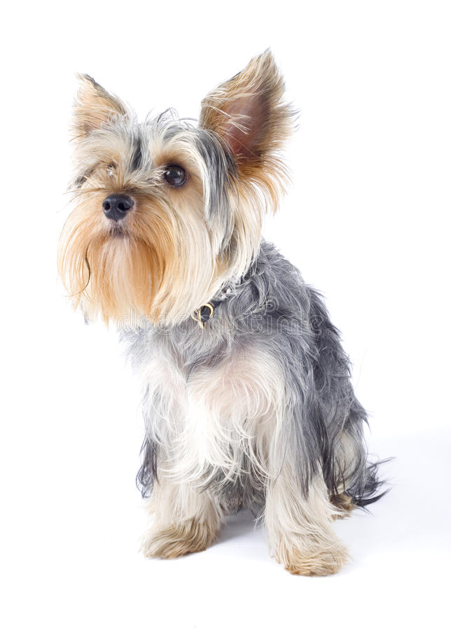 Yorkshire terrier over white royalty free stock images
