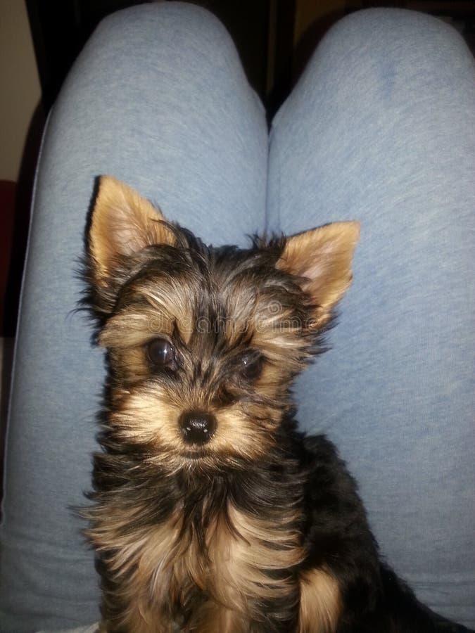 Yorkshire Terrier Penny Mini royaltyfria bilder