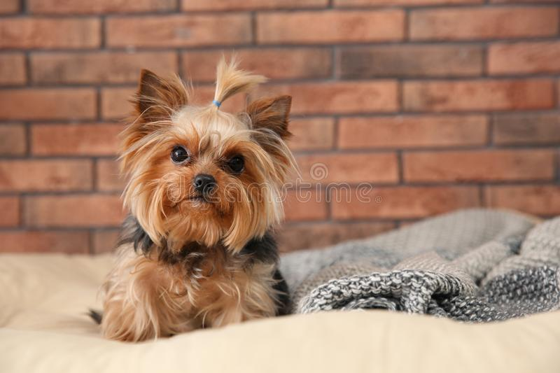 Yorkshire terrier on pet bed against brick wall, space for text. Happy dog stock photography