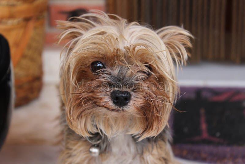 Yorkshire Terrier pies zdjęcia stock
