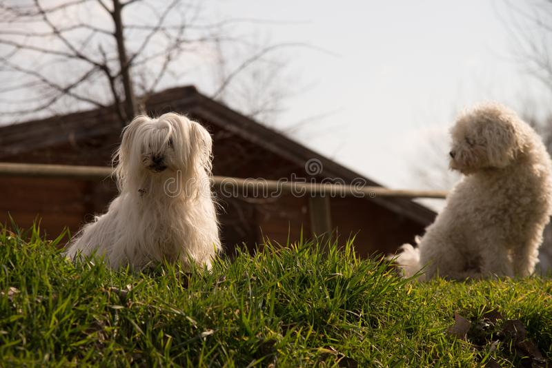 Yorkshire terrier and Poodle dog stock images