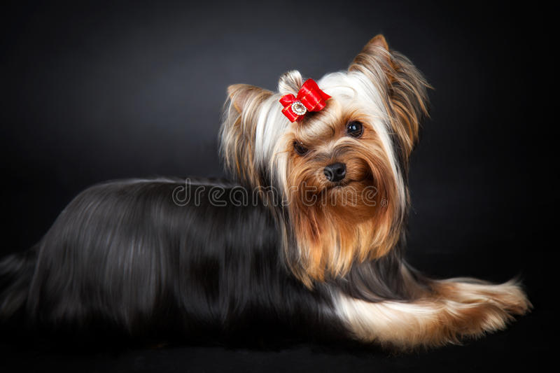 Yorkshire Terrier Portrait royalty free stock images