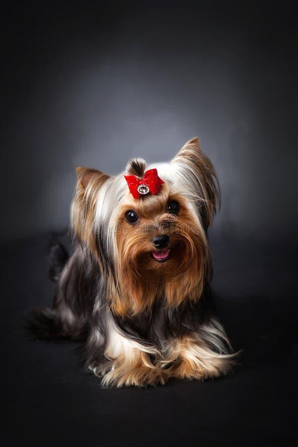 Yorkshire Terrier Portrait stock images