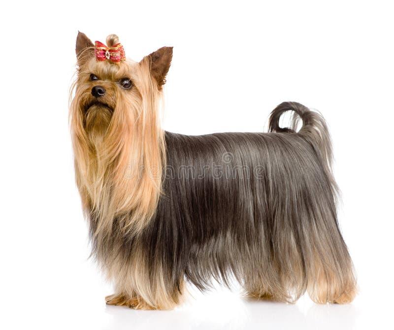 Yorkshire Terrier pozycja w profilu Odizolowywający na białym backgro zdjęcia royalty free