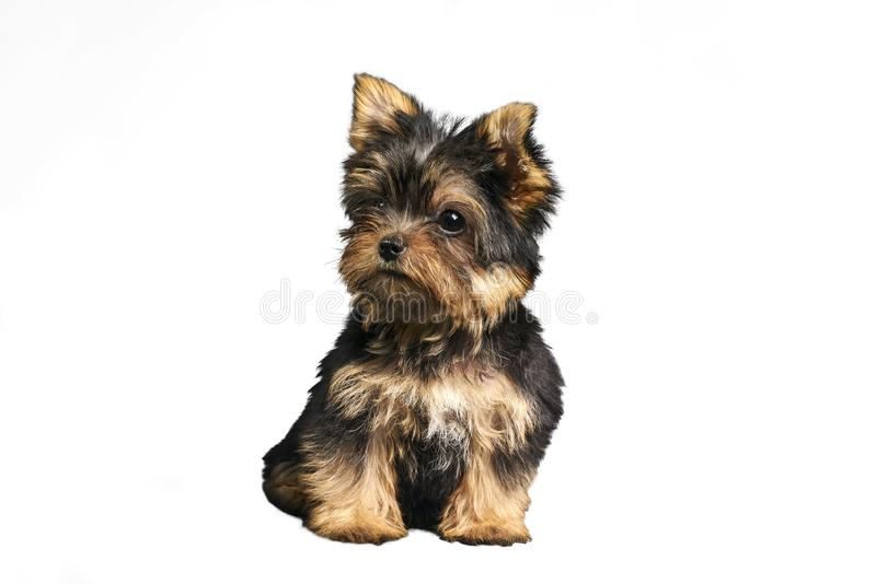 Yorkshire Terrier puppies. Beautiful Yorkshire Terrier puppy sitting royalty free stock images