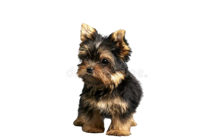 Yorkshire Terrier puppies. Beautiful Yorkshire Terrier puppy sitting stock photography